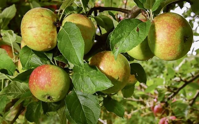 Om du har fruktträd hemma så kan du bidra till Svenska Jordbruksverkets arbete för att stoppa jobbiga insekter.