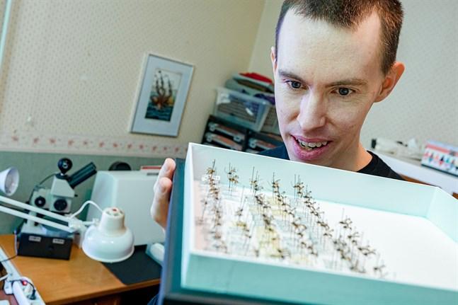 Steklarna ska nålas och dokumenteras en och en. På bilden visar Tapani Hopkins en samling parasitsteklar från Amazonas regnskog.