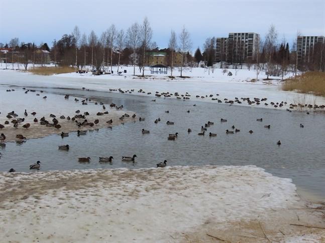 Gräsänderna vid Pappersbron i Metviken är många och välmatade av stadens fågelintresserade flanörer.