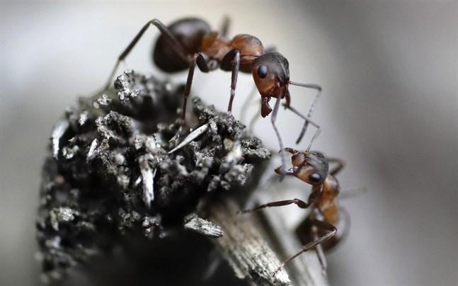 Precis som hos oss människor är isolering det främsta verktyget i myrstacken.