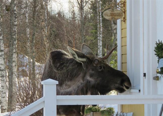 En sällsynt orädd älg hälsade på hos Lindviks i Replot.
