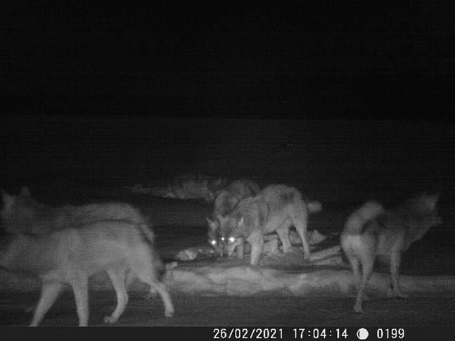 Åtminstone sex vargar syns tydligt på bilden som är tagen med en viltkamera i Alholm i norra Pörtom. I området är det vanligt med observationer av varg och vargspår.