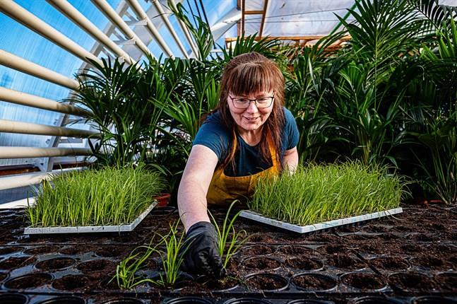 Det går snabbt undan då trädgårdsmästare Sari Eloranta plockar ner pampasgräsplantorna i den förberedda jorden.