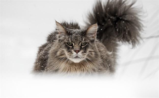 Katten är en skicklig jägare, som har följt med människan ut i hela världen från Europa och Mellanöstern. Arkivbild.