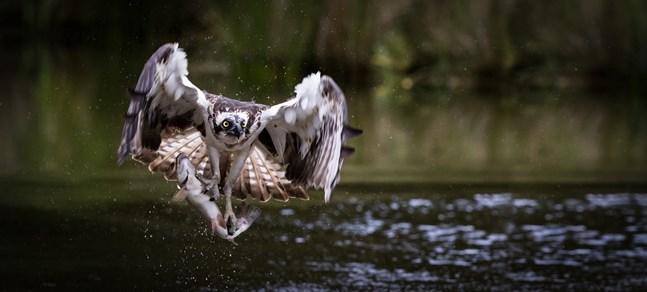 Fiskgjusen är en hökfågel som lever enbart av fisk.