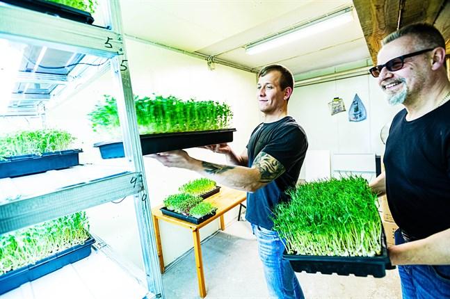 Onsdag är skördedag för Anders Segervall och Spiros Felekis som grundat Nordic Microgreens i det som tidigare var Segervalls pälshus i Socklot.