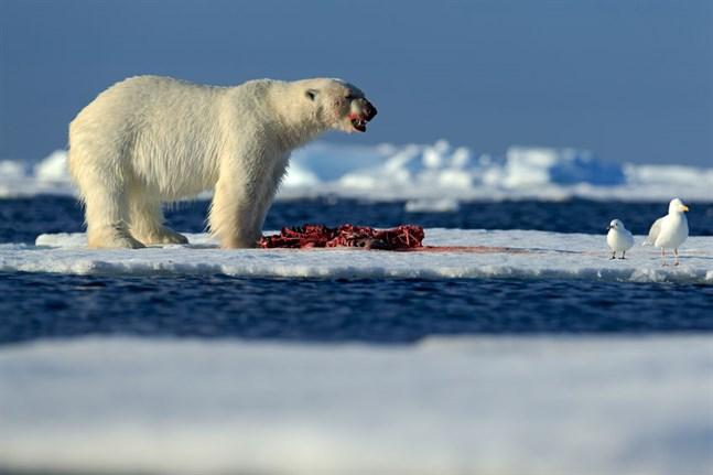 När isarna smälter blir det mycket svårt för isbjörnarna att jaga sin favoritföda: säl.