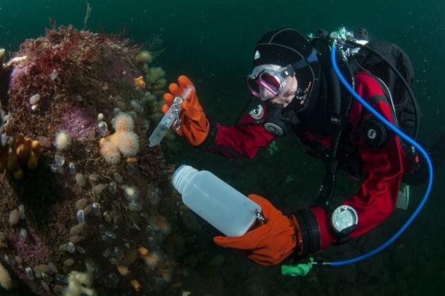 För att samla in små ömtåliga nakensnäckor krävs viss teknik och god dykvana. Sportdykare och undervattensfotografer har bidragit till dagens faunistiska kunskapsläge.