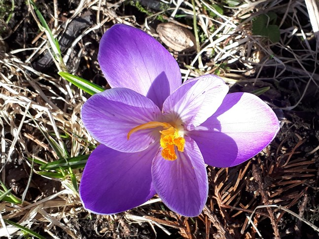 Krokusen blommar.