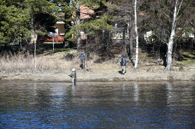 Sportfiskarna blir fler och fler i Lappfjärds å.