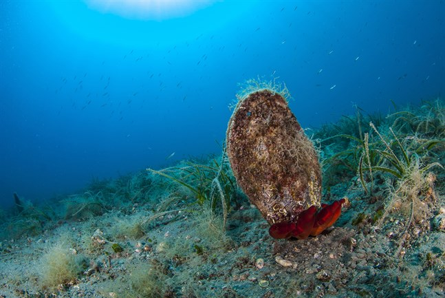 Beslaget av jättesmusslor är ett av de största som gjorts i Filippinerna. Arkivbild.
