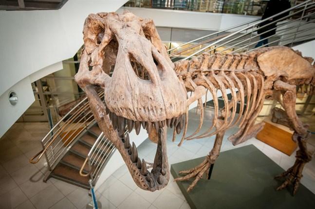 """Det fanns """"bara"""" cirka 20000 tyrannosaurier på en och samma gång, när det begav sig. Men totalt har det funnits miljarder av dem, visar forskning. På bilden syns en avgjutning av ett av de 32 mer eller mindre kompletta fossila skelett av detta djur som någonsin har hittats."""