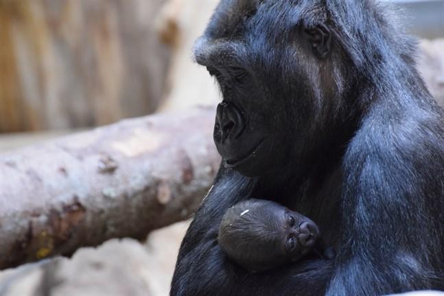 Den 5 april fick gorillaflocken på Kolmården ytterligare tillökning, då Babule och Enzo fick sin första unge tillsammans, en liten gorillahane.