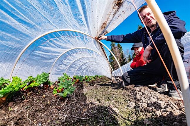Grönsaksodlaren Mikael Segerstam och sonen Wilmer kollar rabarbern i Socklot.