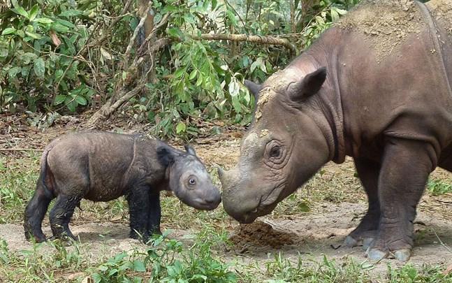 Sumatranoshörning med sin unge.