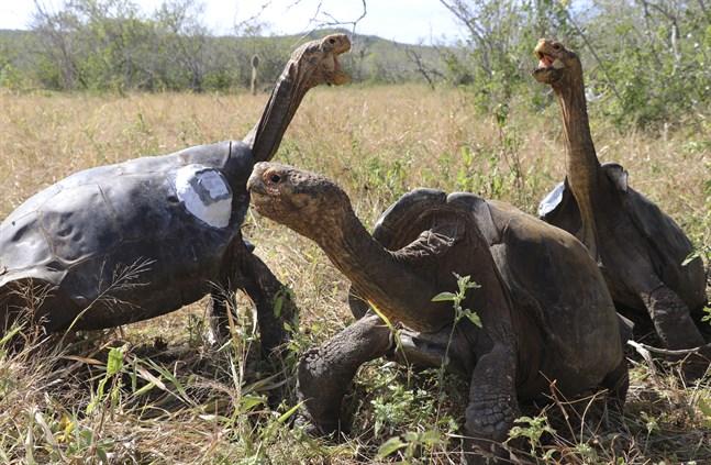 En grupp jättesköldpaddor ögonblicket efter att de släppts ut i det fria på ön Española i Galápagos-provinsen utanför Ecuador. Bilden är från i juni 2020.