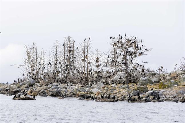 Kolonin på Sommarögrund utanför Södra Vallgrund är troligen den största i Österbotten. Så här såg det ur där i slutet av april.