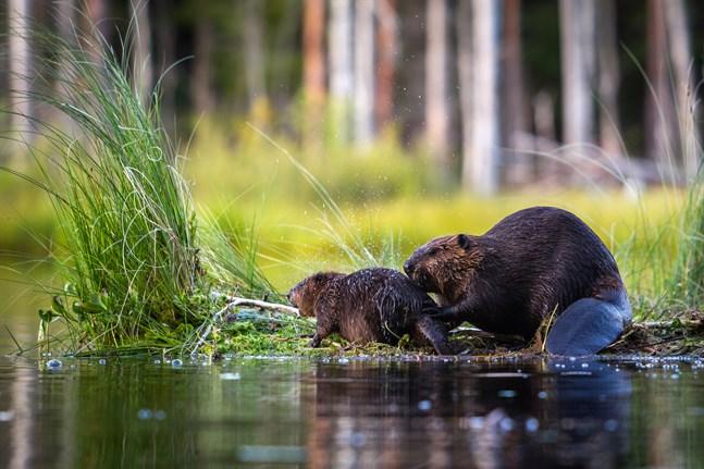 Bävern bygger dammar för att skydda sitt bo från inkräktare. Bilden är från Virdois och föreställer den kanadensiska arten. Man vill förhindra att kanadensisk bäver sprider sig till exempelvis Lappfjärd eftersom den då skulle hota den europeiska bävern.