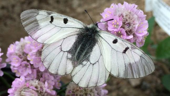 Mnemosynefjärilen – en av Sveriges mest hotade fjärilar.