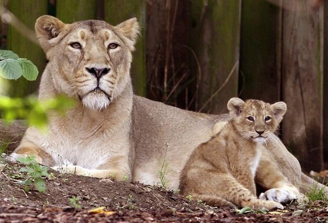 En asiatisk lejonhona med sin unge. Bilden är från ett annat zoo. Arkivbild.