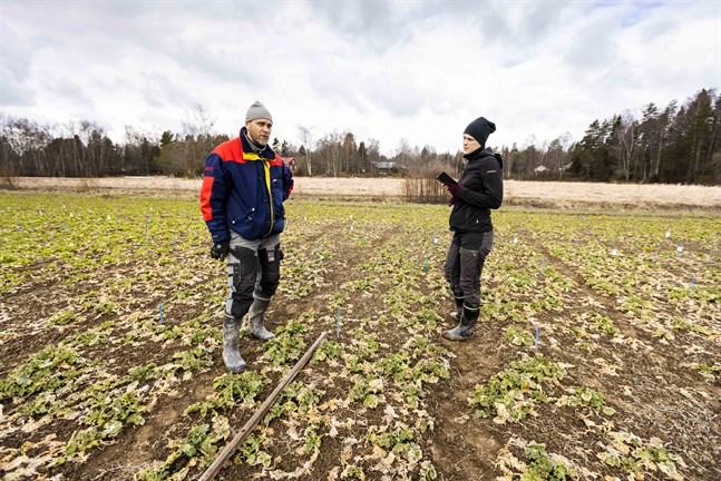 Matias Rönnqvist och praktikanten Sonja Gäddnäs inspekterar provodlingarna av oljeväxter i Höstves.