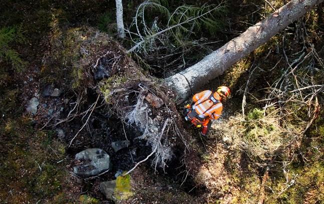 Stormskadad skog 2019. Magnus Rådström röjer. Farhågor finns om att EU:s förnyade skogsstrategi kommer att skada det finländska skogsbruket.