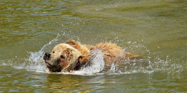 Om en björn kommer till gården ska man skrämma bort den så fort som möjligt, till exempel genom att skramla med en kastrull.
