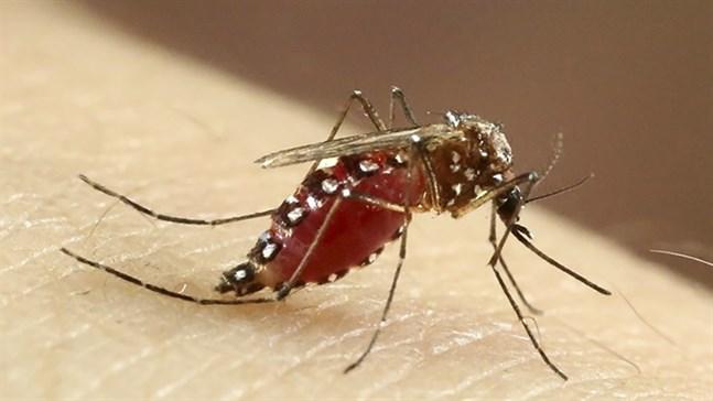 Gulafebermygga (Aedes aegypti).