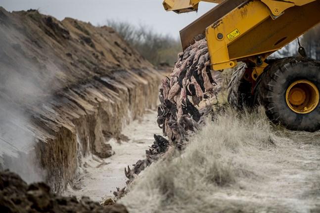 Så såg det ut i november nära danska Holstebro. Nu har minkarna tagits upp från massgraven för att brännas upp. Arkivbild.