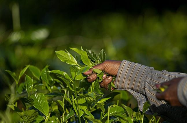 Indisk teproduktion har fått nya utmaningar i form av coronapandemin. Arkivbild.