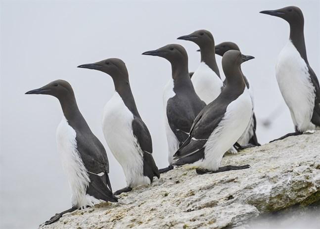 Sillgrisslor trivs på klipphyllor vid havet.