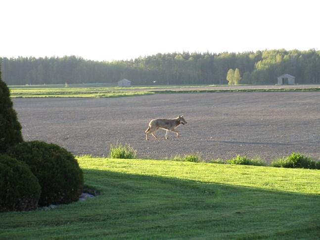 En ensam varg rörde sig bland bebyggelsen i Bäckliden i Närpes så sent som i början av juni. Bilden togs vid niotiden på kvällen.