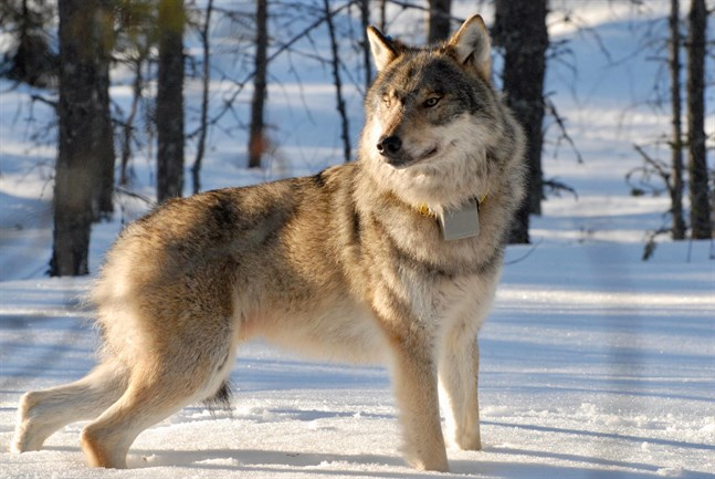 Regeringen kommer att fatta ett beslut om eventuell stamvårdande jakt på varg i höst.