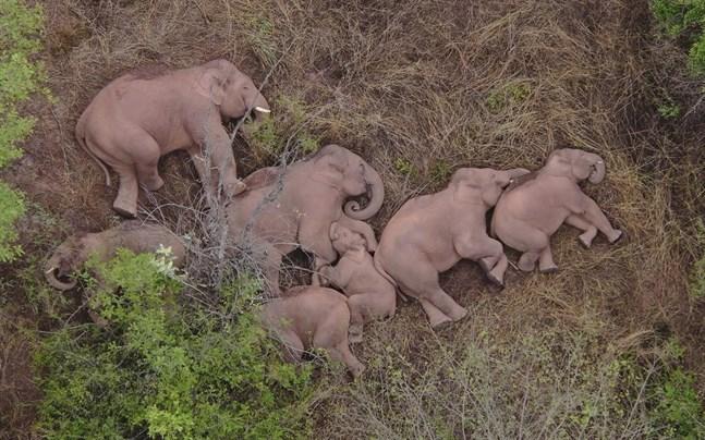 Bilder på de vilande elefanterna, inte långt från miljonstaden Kunming, har lyft den vandrande flockens stjärnstatus.