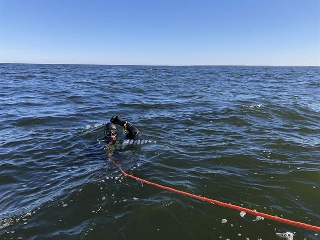 Dykare kartlägger strömmingens lekplatser i Korsnäs både nu och i höst. Det här ingår i miljökonsekvensutredningarna för en havsvindpark.