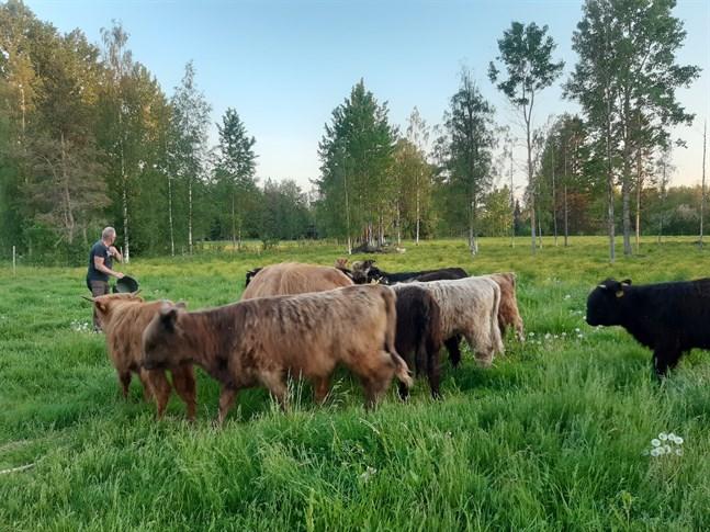 De unga kvigorna och kon är tillbaka i hagen.