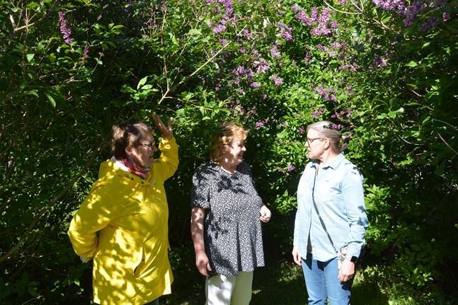 Den här syrenbersån ska ställas i ordning till Öppna portar i helgen, berättar Sorja Kauppinen till höger för Maarit Rosengård och Helena Kari.