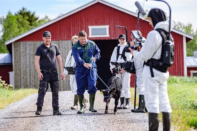 Michael Björklund får testa att ta ut en lite motsträvig kalv ur kätten när han hälsar på vid Strands fähus i Skutnabba med Snellmans.