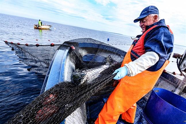 Fiskaren Nils-Håkan Nygård har fiskat i 50 år. En normalstor sikfälla kan innehålla drygt 3 kilometer med linor och band för att de ska hållas på plats.