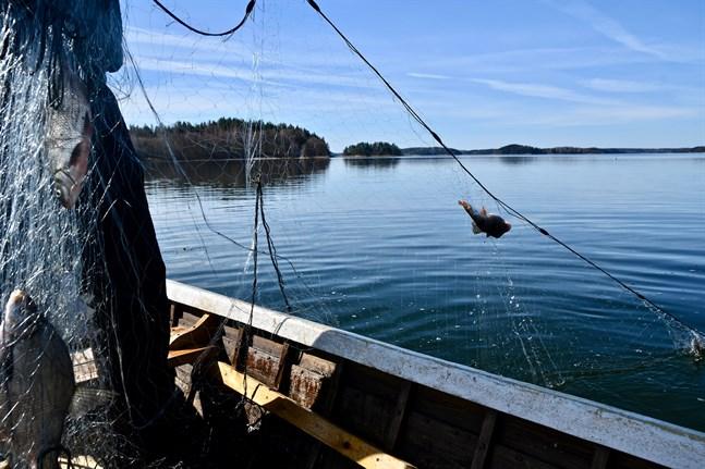 Vilda fiskbestånd kan också bära på IHN-viruset, uppger Livsmedelsverket. Viruset drabbar främst regnbåge och lax. Arkivbild.