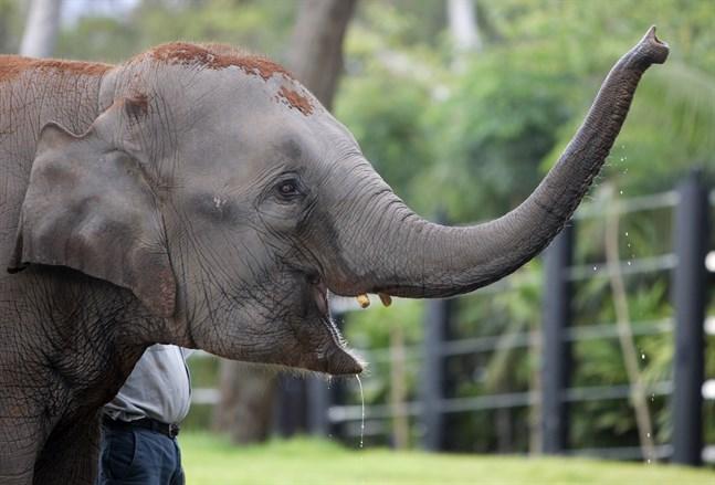 En asiatisk elefant, dock inte den som nämns i texten. Arkivbild.