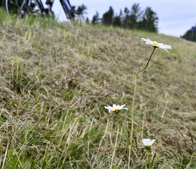 Spåren förskräcker. Efter att statens gossar gjort sitt besök vid begravningsplatsen i Korsnäs fanns inte mycket kvar av det exklusiva beståndet med tusentals blommande prästkragar.