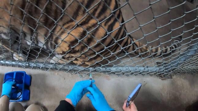 En tiger på Oakland Zoo ställer sig snällt vid stängslet för att få sin första covidspruta.