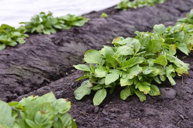 Livsmedelsverket uppmanar potatisodlare att kontrollera sina potatisplantor.