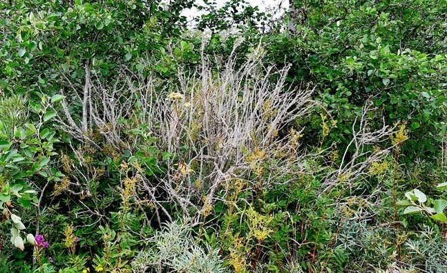 Här har en vresrosbuske bekämpats med glyfosat och dött, medan omgivande växtlighet inte påverkats.