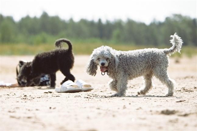 Hundar får svalka sig vid privata stränder eller stränder som finns till enbart för dem, inte vid allmänna badstränder.
