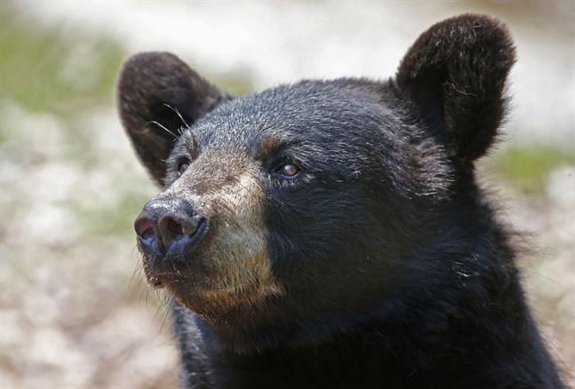 En asiatisk svartbjörn tog sin in på en av OS-arenorna. Arkivbild.