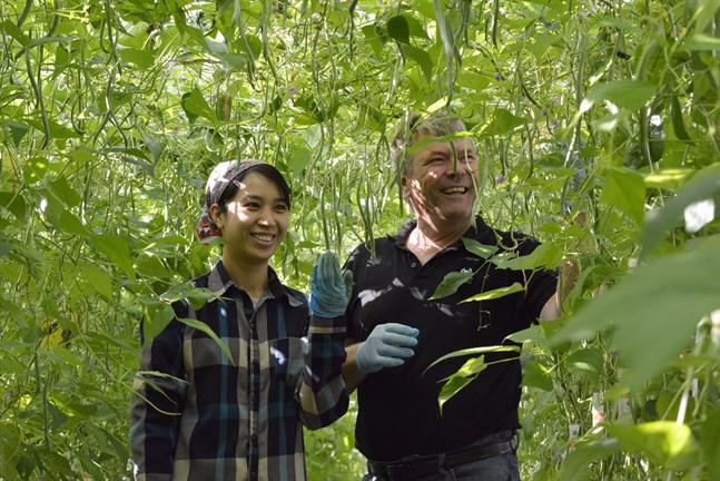 Grönsaksodlaren Christer Lillandt gör nu ett försök att odla bönor i sina växthus. Hang Bui jobbar i växthuset och har kommit med råd från odlingarna i sitt hemland för att få till en lyckad skörd.