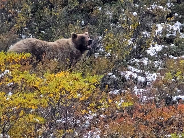 En grizzlybjörn i Alaska, björnen på bilden har inget med texten att göra.