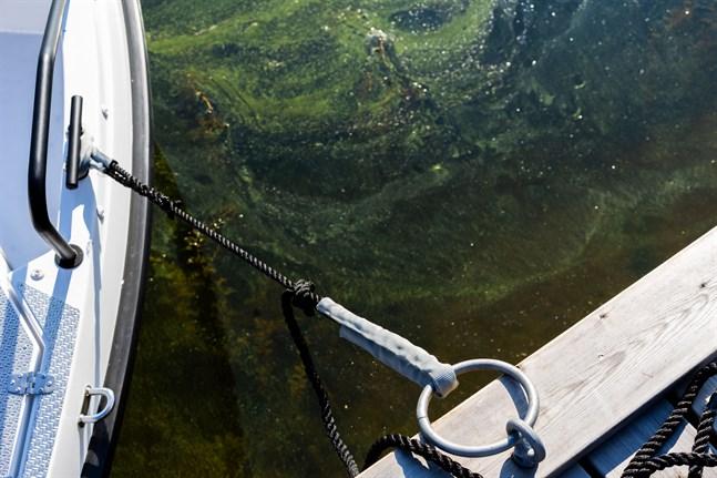 Arkivbild: Blågröna alger.